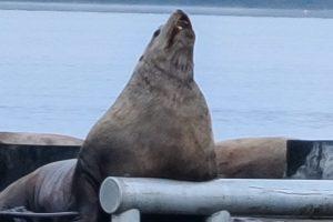 20201110_singing sea lion